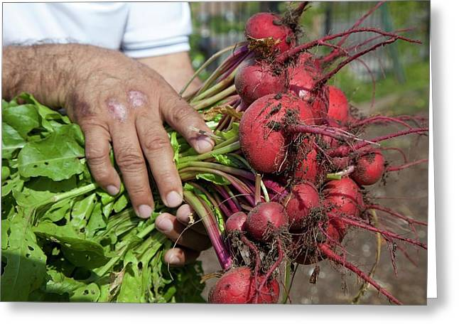 Radishes Harvested From A Garden Greeting Card