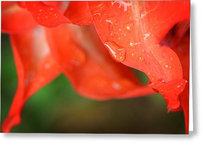 Rain Dance - Red Flower Photography By Sharon Cummings Greeting Card by Sharon Cummings