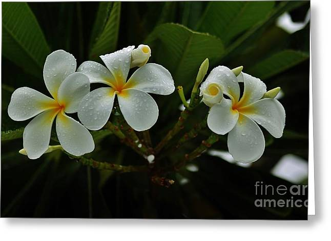 Rain Kissed Plumeria Greeting Card by Craig Wood