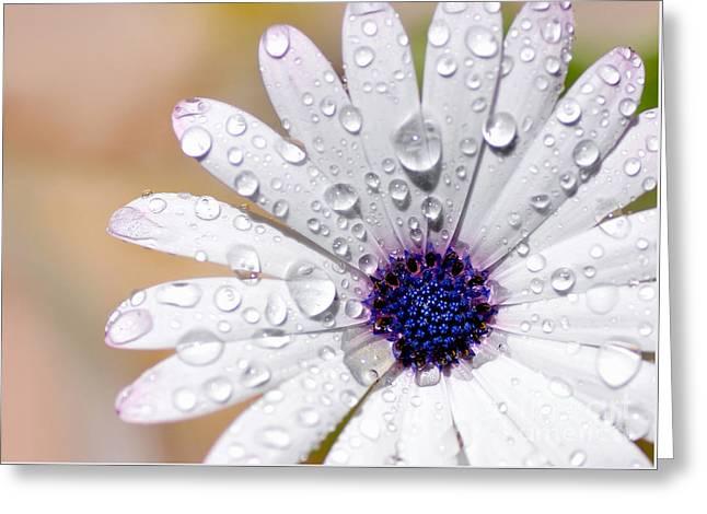 Rain Soaked Daisy Greeting Card
