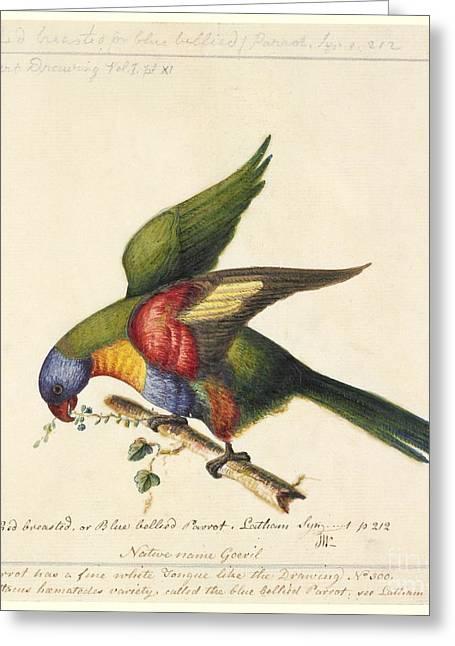 Rainbow Lorikeet, 18th Century Greeting Card by Natural History Museum, London