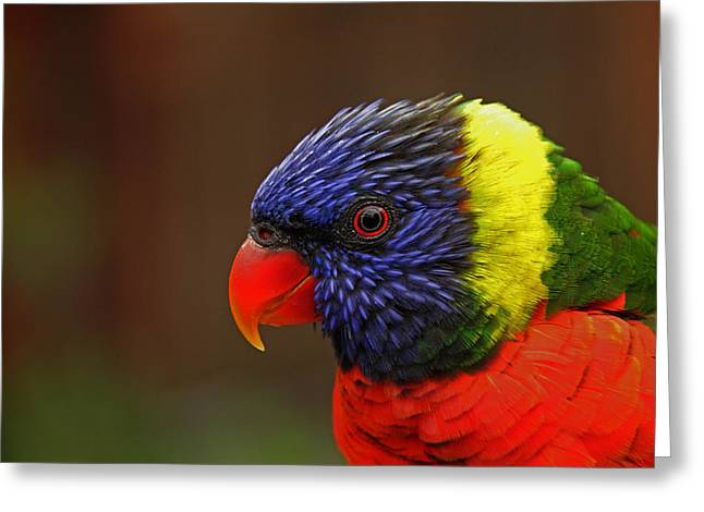 Greeting Card featuring the photograph Rainbow Lorikeet by Andy Lawless