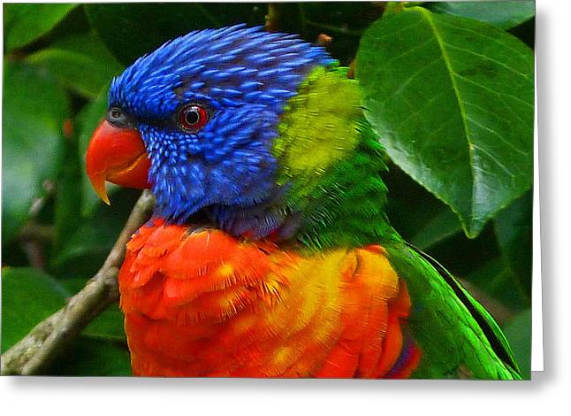 Rainbow Lorikeet Deep In Thought Greeting Card by Margaret Saheed