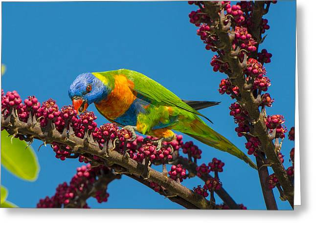 Rainbow Lorikeet Feeding On Queensland Greeting Card by D. Parer & E. Parer-Cook