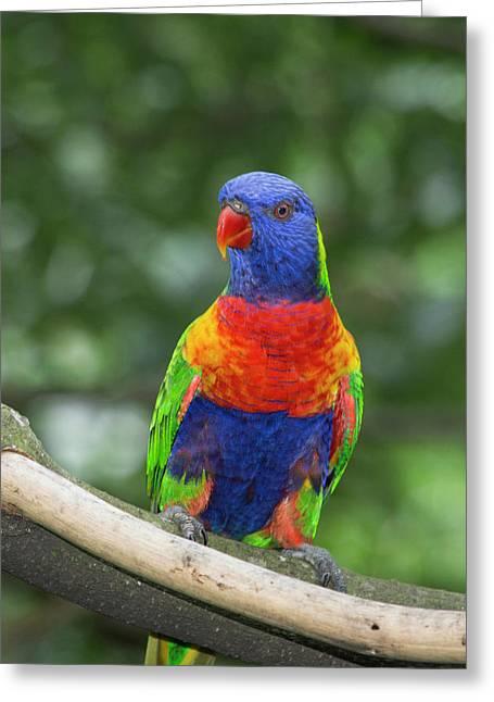 Rainbow Lorikeet (trichoglossus Greeting Card by Cindy Miller Hopkins