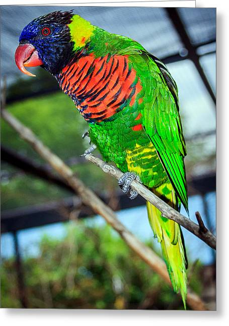 Greeting Card featuring the photograph Rainbow Lory by Sennie Pierson