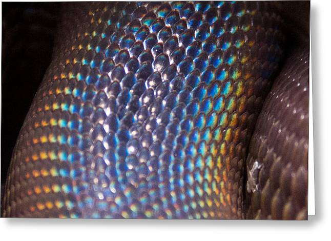 Rainbow Scales Greeting Card by Debbie Cundy
