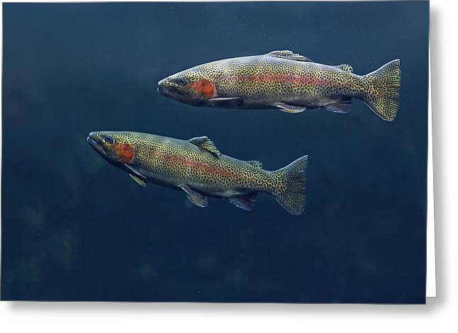 Rainbow Trout Pair Swimming Greeting Card