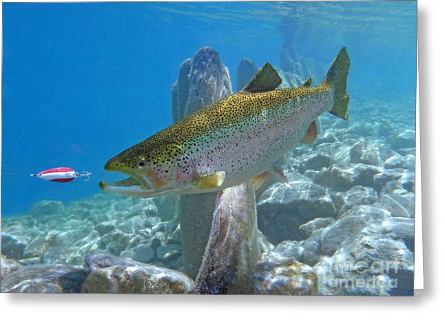 Rainbow Trout Pursuing Red And White Spoon Greeting Card