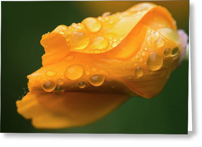 Raindrops Gather On A California Poppy Greeting Card by Robert L. Potts