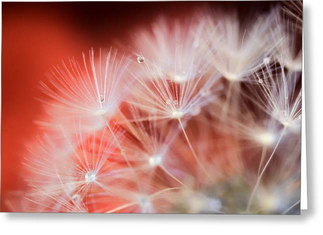 Raindrops On Dandelion Red Greeting Card by Marianna Mills
