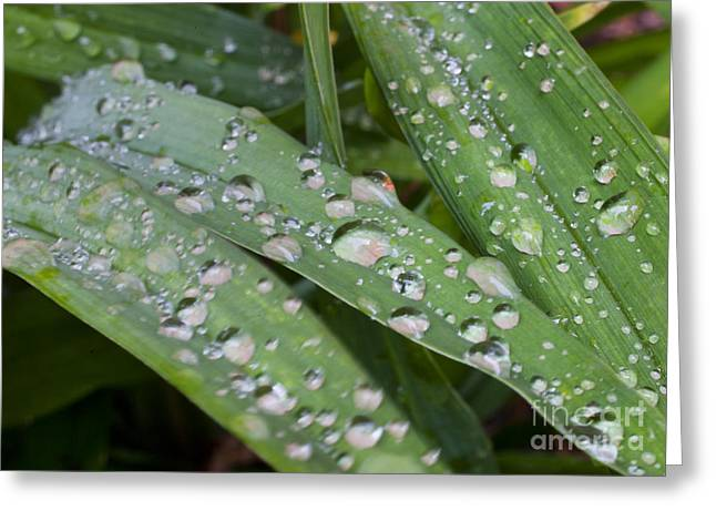 Raindrops On Daylily Leaves Greeting Card by Jonathan Welch