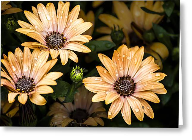 Greeting Card featuring the digital art Raindrops On Gerbera Daisies by Photographic Art by Russel Ray Photos