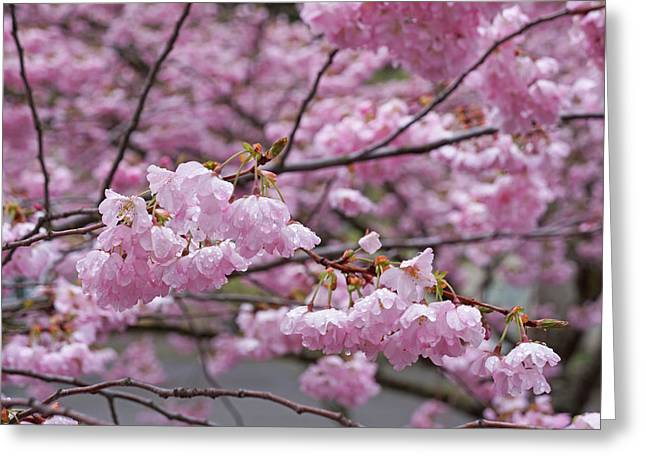 Raindrops Springtime Pink Tree Blossoms Art Greeting Card by Baslee Troutman