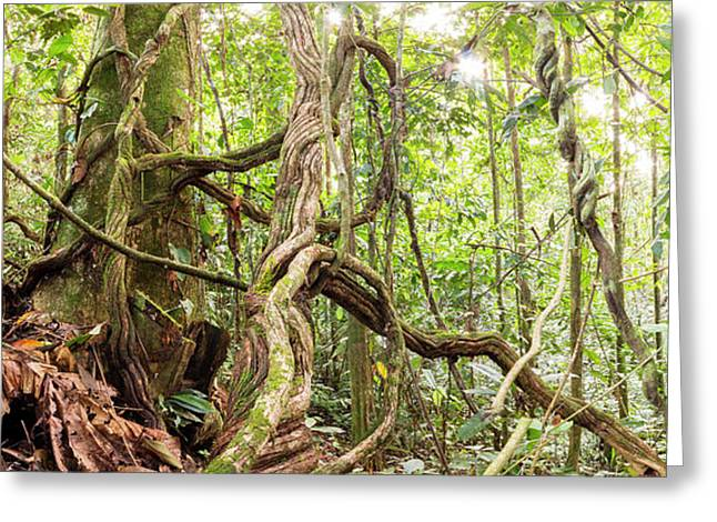 Rainforest Lianas Greeting Card by Dr Morley Read