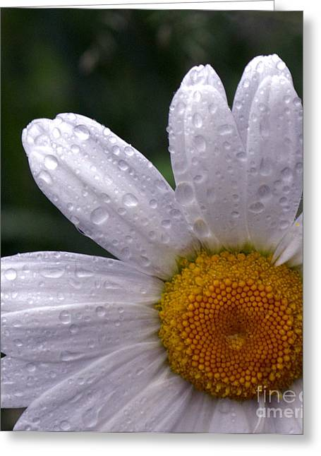 Rainy Day Daisy Greeting Card by Kevin Fortier