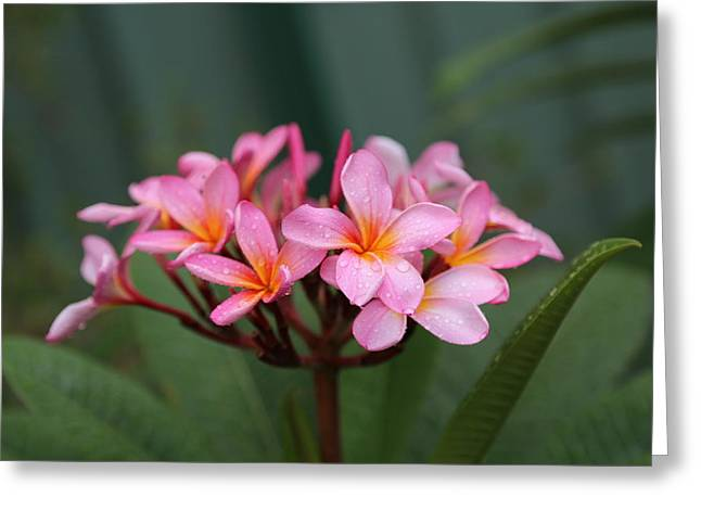Rainy Day Frangipani Greeting Card by Keith Hawley