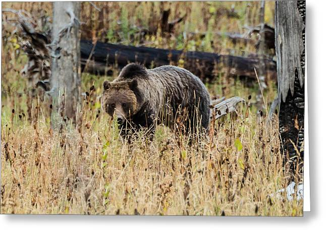 Greeting Card featuring the photograph Rainy Day Grizzly Sow by Yeates Photography
