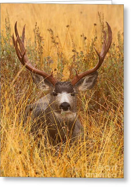 Greeting Card featuring the photograph Rainy Mountain Buck by Aaron Whittemore