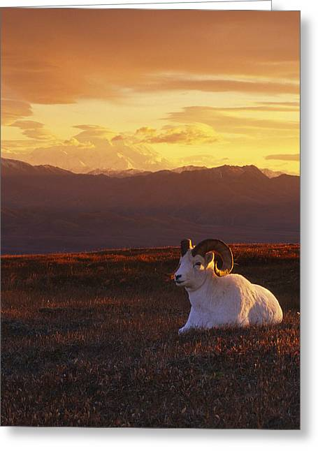 Ram Dall Sheep At Sunset In Front Greeting Card by Michael Jones