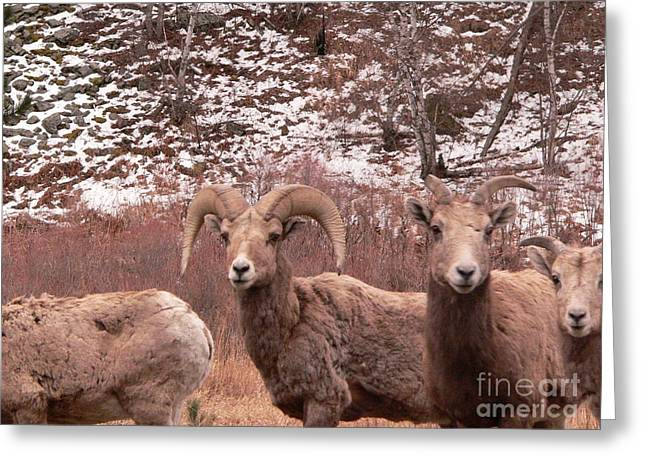 Ram Horn Sheep Greeting Card by David Bearden