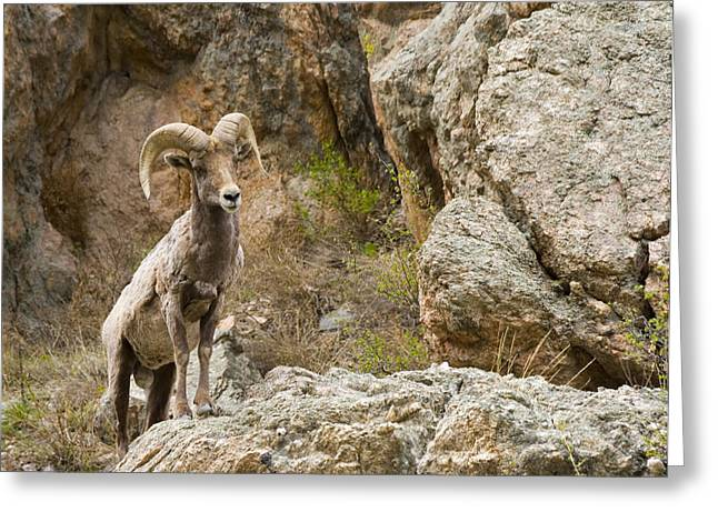 Ram Lookout Greeting Card by Rebecca Adams