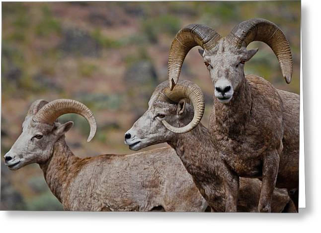 Rams In Three Greeting Card