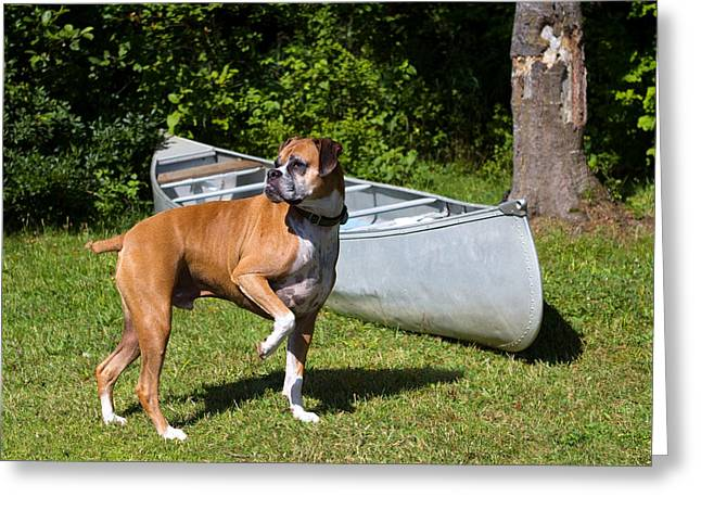 Ranger The Boxer Greeting Card by Stephanie McDowell