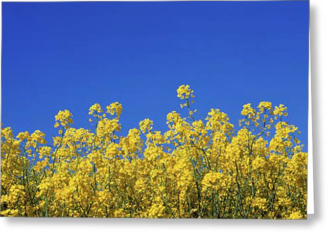 Rape Field In Bloom Under Blue Sky Greeting Card by Panoramic Images