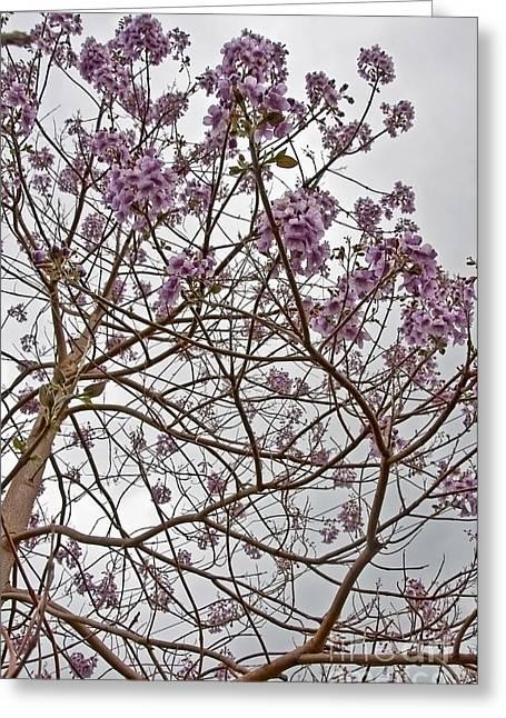 Rare Foxglove Tree - Paulownia Tomentosa  Greeting Card by Valerie Garner