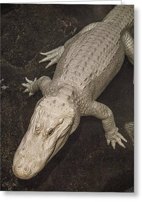 Rare White Alligator Greeting Card