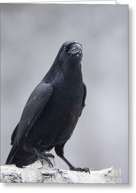 Raven On A Birch Log Greeting Card by Tim Grams