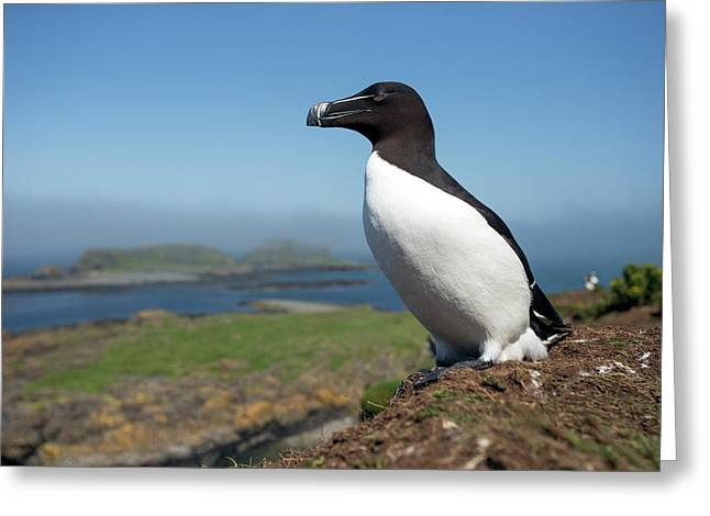 Razorbill On A Coastal Ledge Greeting Card by Simon Booth