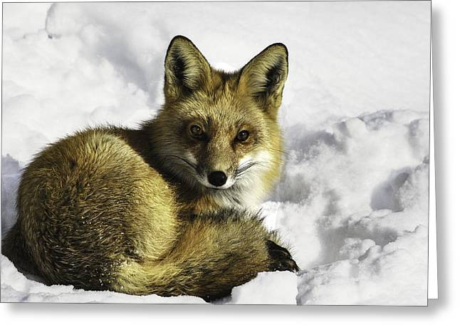 Ready Red Fox Greeting Card