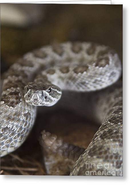 A Rattlesnake Thats Ready To Strike Greeting Card