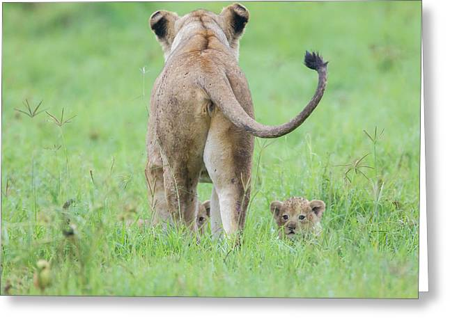 Rear View Of Lioness Facing Away Greeting Card