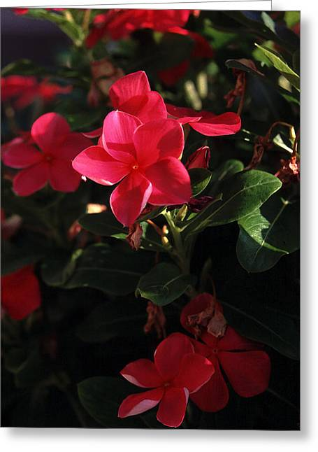 Reba's Garden - A Lovely Shade Of Red Greeting Card by Michael Flood