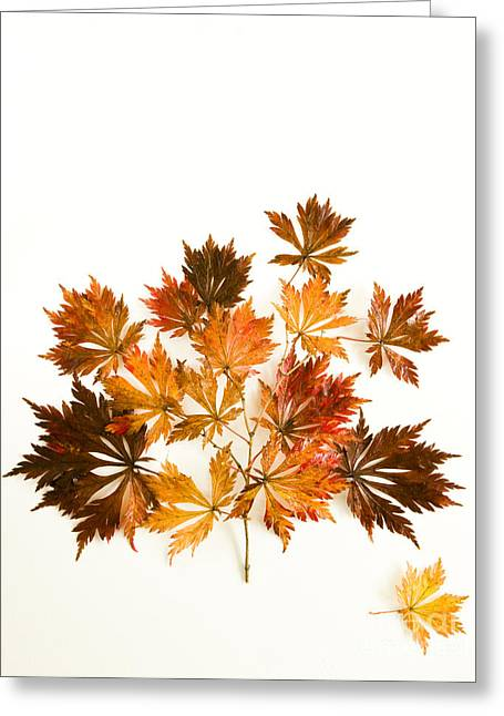 Reconstructed Full Moon Maple Greeting Card by Anne Gilbert