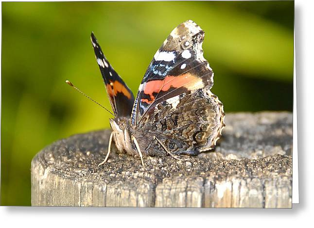 Red Admiral Butterfly Greeting Card by David Lee Thompson