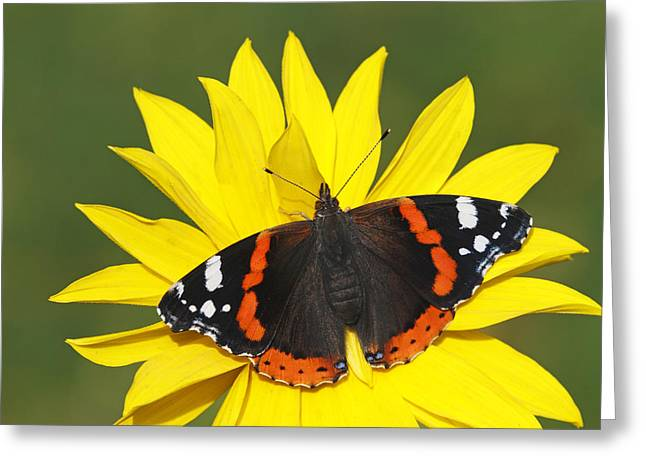 Red Admiral Butterfly Netherlands Greeting Card by Silvia Reiche