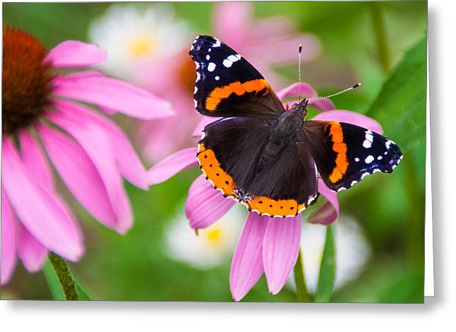Greeting Card featuring the photograph Red Admiral Butterfly by Patti Deters