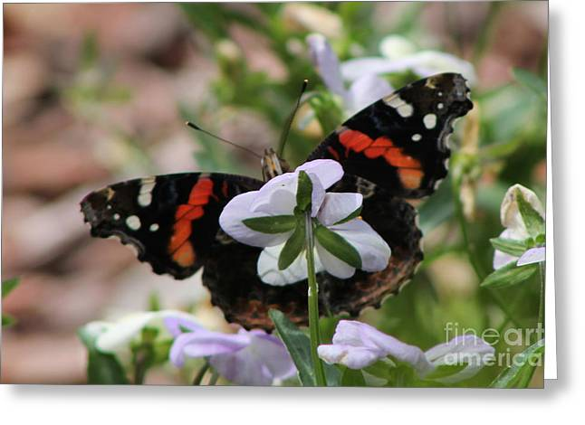 Red Admiral  Greeting Card by Sarah Boyd