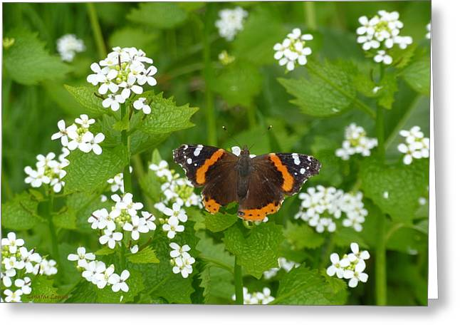 Greeting Card featuring the photograph Red Admirals by Lingfai Leung