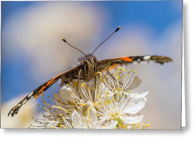 Red Admiral Butterfly On Plum Blossoms Greeting Card