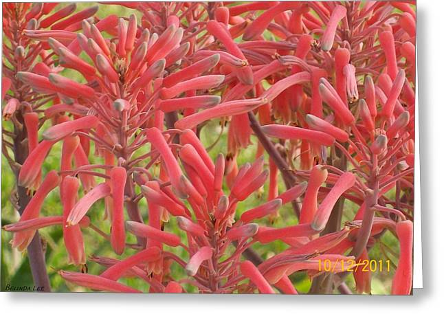Greeting Card featuring the photograph Red Aloe Blooms by Belinda Lee