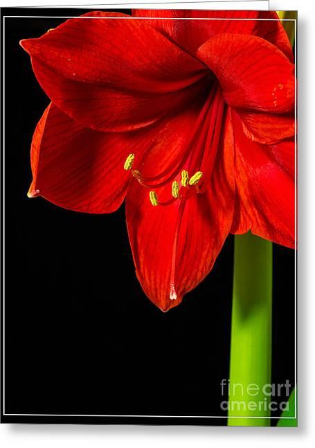 Red Amaryllis Flower Greeting Card