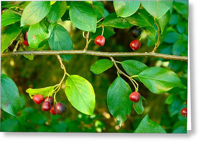 Greeting Card featuring the photograph Red And Black Berries by Johanna Bruwer
