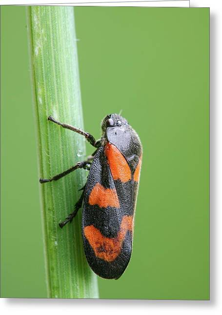 Red And Black Froghopper Greeting Card by Heath Mcdonald