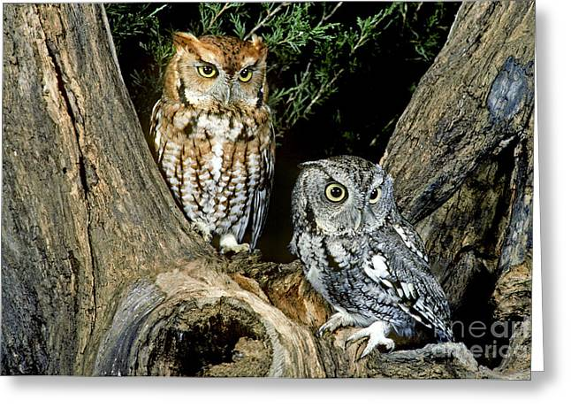 Red And Gray Screech Owls Greeting Card