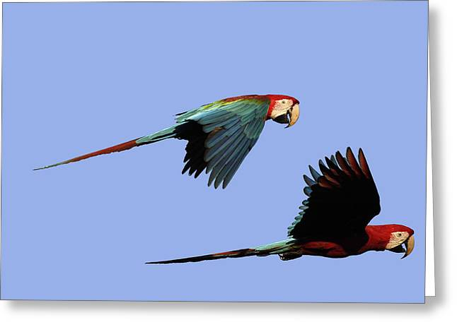Red And Green Macaws Greeting Card by M. Watson